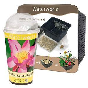 BOTANICLY | Plante de jardin – Waterworld Nelumbo Lotus – Kit de culture + Aqua-Set (panier pour bassin, gravier, terreau et engrais pour plantes) | Hauteur: 20 cm