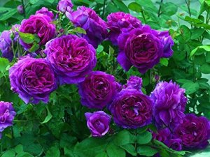 Heirloom rosier grimpant 300 graines Grimpeur Violet Vivaces Double
