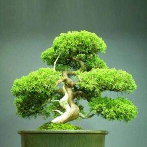 Pinkdose Juniperus virginiana