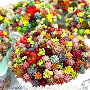 Adolenb Seeds House- 100pcs Mélange De Graines Succulentes Rares Pierres Vivantes Usine Cactus DIY Maison Jardin, Graines Charnues Anti-Radiation