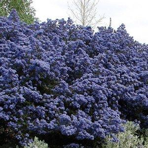 Ceanothus impressus 'Puget Blue' – Céanothe persistante de 'Santa Barbara' – L