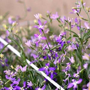 Night-scented Stock, Soir Stock Graines – Matthiola Bicornis