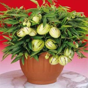 Adolenb Seeds House- Melon poire pepino, graines de melon rares plantes de bonsaï fruits sucre sucre graines de melon graines de fruits biologiques maison jardin vivace