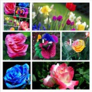 Mr.seeds Les rosiers arbustifs graines 200 morceaux de fleurs rares, rosiers. Graines jaune, rouge, rose, violet, horticulture, bonsaïs exotique