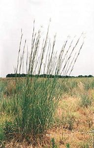 Pase Seeds Ornamental Grass Seed – Andropogon Gerardii Big Bluestem Seeds
