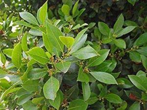 SANHOC Graines Paquet: Laurus nobilis – Bay, la coupe Arboré, tic – 3 s 9cm PotsSEED