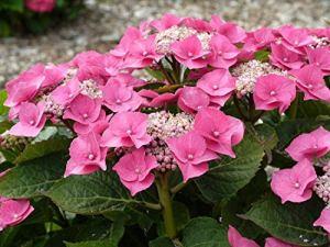 SANHOC Graines Paquet: macrophylla Taube – Teller Rose, 3 s en 9cm PotsSEED