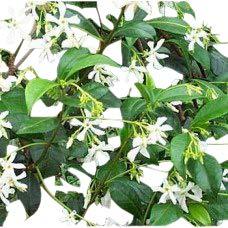 Trachelospermum jasminoides – Faux jasmin – Plante grimpante, hauteur environ 1m.