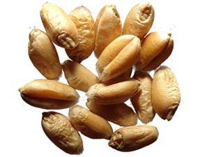 Blé Bladette de Puylaurens – 3 grammes – Triticum Caesium – Wheat – (Engrais Vert – Green Manure) – SEM01