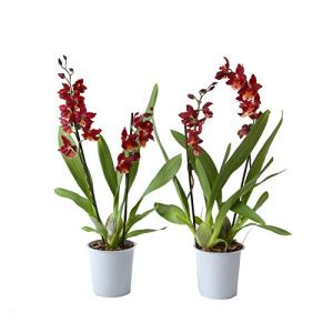 BOTANICLY | 2 × orchidée »Red Ruby » | Hauteur: 50 cm | Cambria Burrageara
