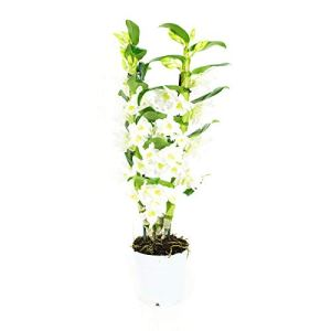 BOTANICLY | Orchidée – Apollon | Hauteur: 60 cm | Dendrobium Nobilé