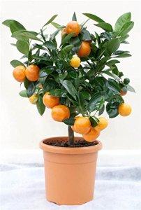 MANDARINIER tige hauteur 60-80 cm agrume (Citrus deliciosa)