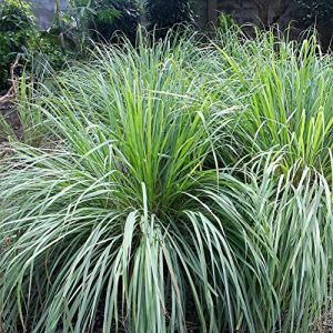 XIYAO Plantes herbacées – 500 graines – Repousse Les moustiques