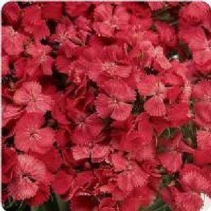 AGROBITS Fleur – Doux Wiliam – Dianthus – SweetF1-15 Voir Granulé