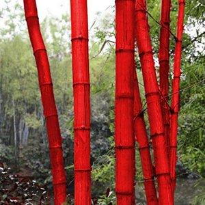 Kaimus Lot de 20 graines de bambou géant en Chine Moso Bambou à croissance rapide avec des graines de culture hivernales pour votre jardin et votre maison rouge
