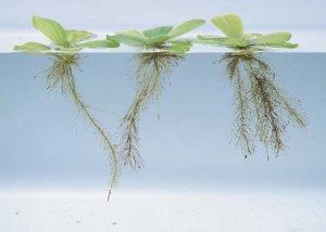 Pistia stratiotes – L'Eau de Laitue [5/10/15] Nain/Mini Live flottant aquarium plantes