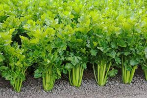 AGROBITS Celerybonsai Vegable Garden Colza Tn Feuille Santé 100See