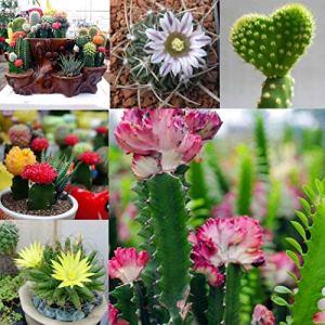 Sisaki Seed,100 pcs Mixte Cactus Graines Succulents Graines,ornementales plante bonsai graines de fleurs pour décoration de maison pour accueil, jardin,patio