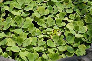 Pistia stratiotes x5 – Flottant en Direct Bassin Plante