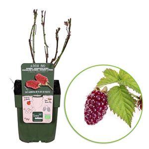 2x Rubus hybride»Tayberry» | Framboisiers | Arbustes fruitiers | Hauteur 30-60cm | Pot Ø 12cm