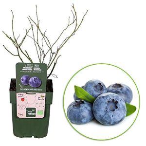 2x Vaccinium Corymbosum « Brigitta Blue » | Myrtillier | Arbuste fruitier | Hauteur 30-60cm | Pot Ø 12cm