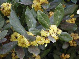 GEOPONICS Lauru Nobili | Laurel Bay | Weet-Bay | Bayleaf | 10_Seed de U