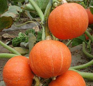 graines de citrouille précoces sans noix OGM petite citrouille (rouge)