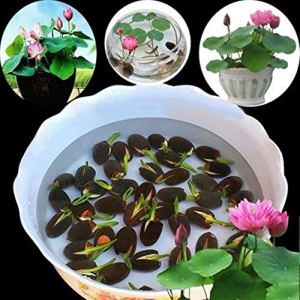 jinqiao Graines, 10 Pcs Nénuphar Graines de Fleurs Maison Balcon Jardin Plantes Hydroponiques Décoration – Nénuphar