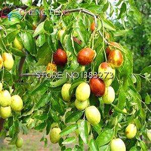 Kalash New 20pcs géant doux graines de fruits Jujube pour jardinage vert rouge