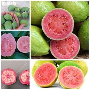 Kalash New 30 pcs graines Goyave fruits pour jardinage multi-couleurs 2