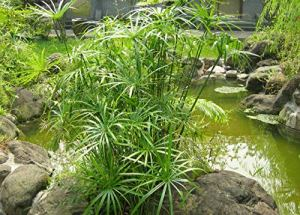Lot de 100 graines de cyperus alternifolius ornemental