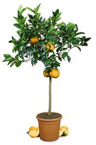 Meine Orangerie Grande Arbre à oranger Orange véritable – Plante agrume – 110-140 cm – Citrus sinensis – Orange Tree – Arbre à Pomme Noble de qualité