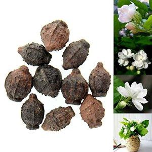 Rosepoem 10pcs Gardenia Jasmine Jasminiodes blanc Arbuste aromatique Graines de fleurs Parfum