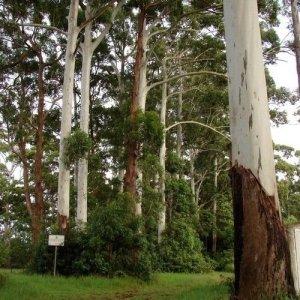 100 graines – Eucalyptus Rose Graines de gommier (Eucalyptus grandis)