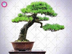 10pcs bonsaïs de graines de pin noir japonais jardin décoration intérieure, à feuilles persistantes, semences de plantes ornementales fortes de jardin vivaces