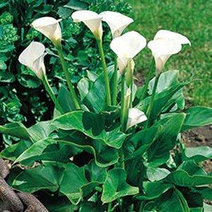5 x Zantedeschia Aethiopica – Bulbe Vivace