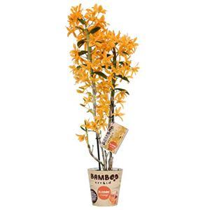 Orchidée de Botanicly – Bambou Orchidée – Hauteur: 50 cm, 2 pousses, fleurs d'oranger – Dendrobium nobile Firebird