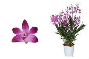 Orchidée de Botanicly – Bambou orchidée rose – Hauteur: 40 cm, 6 pousses – Dendrobium Berry Oda