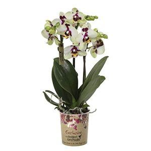 Phalaenopsis»Spotty» | Orchidée blanche | Plante tropicale fleurie | Hauteur 35-40cm | Pot ø 9cm