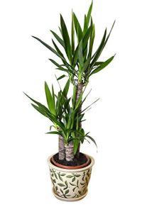 Plante d'intérieur – Plante pour la maison ou le bureau – Yucca elephantipes – Yucca sans épines, hauteur d'environ 80cm