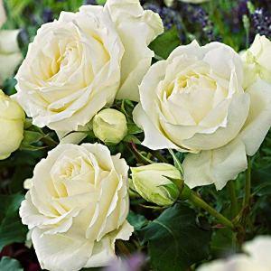 Rosa floribunda»Kristall» | Fleurs blanches | Rosiers arbuste | Hauteur 22cm