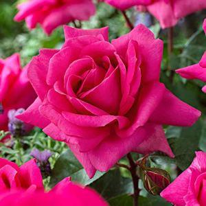Rosa»Criterion» | Fleurs roses | Gros fleurons | Rosiers arbuste | Hauteur 22cm