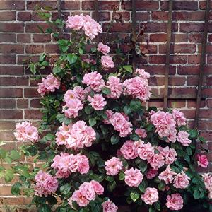 Rosa»Indigoletta» | Fleurs lila-violet | Rosiers grimpant d'extérieur | Hauteur 22cm