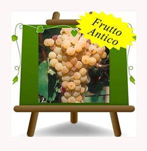 Vigne Malvasia Del Lazio – Plante de fruits vieux porte-greffe sur pot 20 – arbre max 170 cm – 2 a