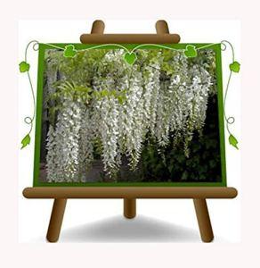 Wisteria Sinensis Alba glycine crème blanche – Plante grimpante sur pot 18 – hauteur 200 cm