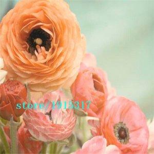 100 pcs fleurs Ranunculus, renoncule persian Pour Maison & Jardin Plantes Bricolage Persian Buttercup semences Livraison gratuite bulbes de fleurs