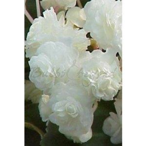 30 x Bégonia Double»Blanc» – Tubercules de Bégonias – Livraison Gratuite
