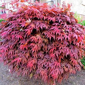 Acer Palmatum»Atropurpureum» | Érable du Japon rouge | Arbuste d'ornement | Hauteur 20-30cm | Pot Ø 13cm
