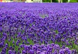AGROBITS lavenderseed 20Lavandula Jardin Patio décote Cour