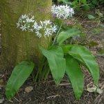Asklepios-seeds® – 250 graines de Allium ursinum,il des ours, ail sauvage,ail des bois